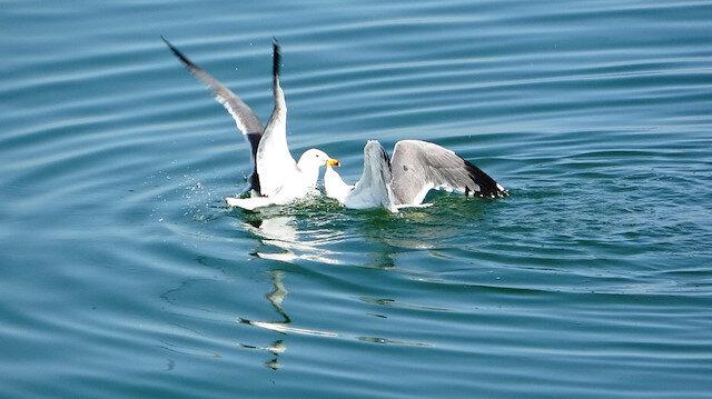 Van Gölü'nden beslenen martıların balık kavgası
