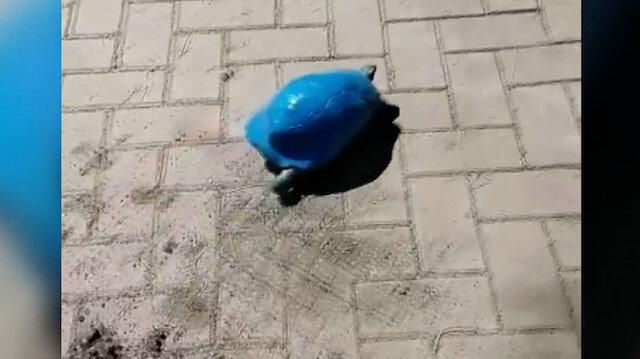 Antalya'da kaplumbağayı maviye boyadılar