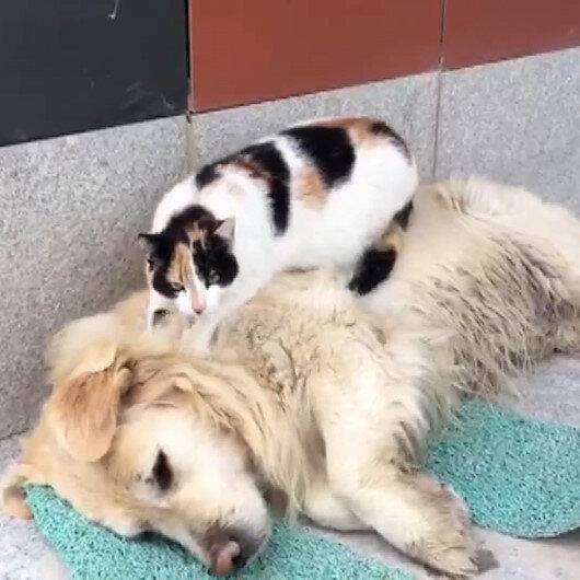 Uyuyan köpeğin sırtına çıkıp masaj yapan kedi sosyal medyada gündem oldu