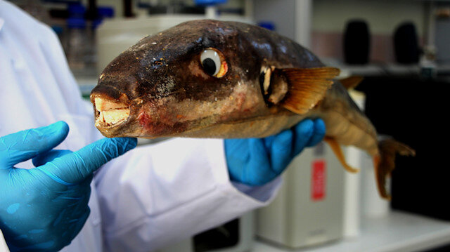 Balon balığının parazitleri yüzünden birçok balık türü tehlikede: Ölümlerle karşılaşma riskimiz var