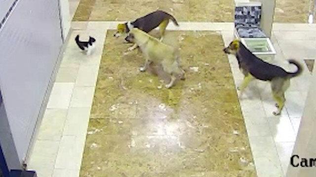 Adana'da anne kedi yavrusuna saldıran 3 köpeği böyle kovaladı