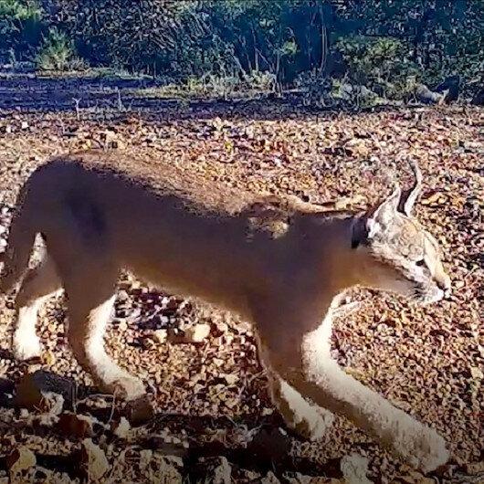 موغلا التركية.. رصد سلالة حيوانية على وشك الانقراض