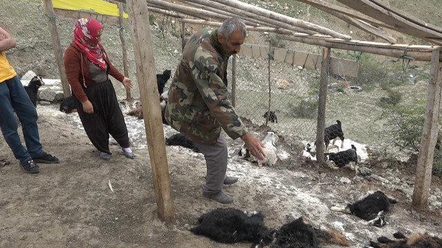 Sokak köpekleri ahıra saldırdı: 20 keçi telef oldu, 21 keçi yaraladı