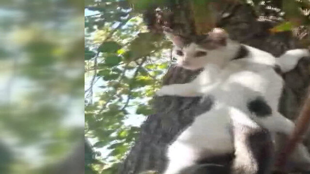 Ağaçtaki kediyi Ege şivesiyle kurtarma çalışması gülme krizine soktu: Pamuk yanlış anlama koy ayağını oraya