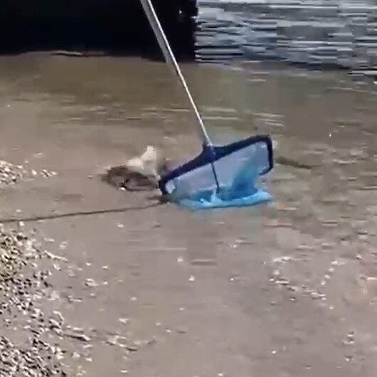 Alanyada sahil kıyısında balon balığı paniği