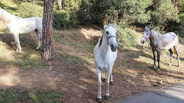 Adalar'daki atların 224'ü bakımsızlıktan ölmüş