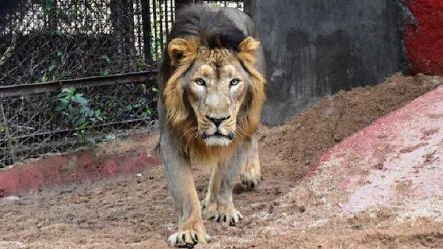 Hindistan'daki 8 aslan koronavirüse yakalandı: Uzmanlar inceleme başlattı