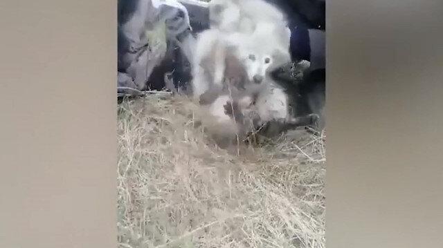 Rusya'da su kuyusuna düşen albino rakun ve kedinin imdadına polisler yetişti