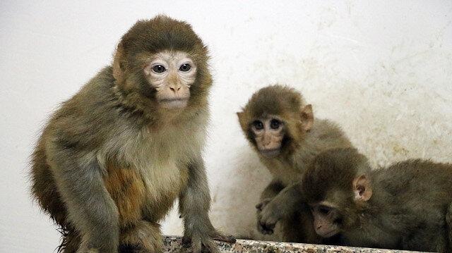 Ağrı'da yakalanan 12 maymun koruma altına alındı