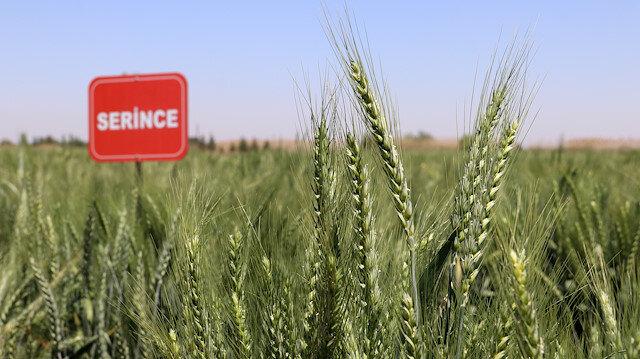 Yerli buğdaylar Serince ve Cudi 63 ile rekolte yüzde 20 artacak: Komşu ülkelere ihraç edilecek