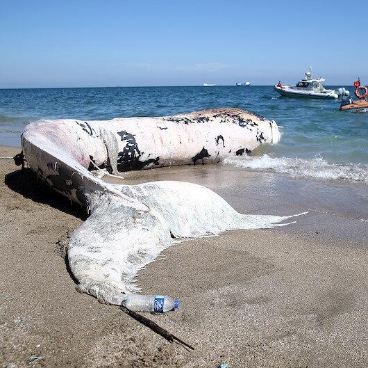 Mersinde kıyıya vuran dev balina görenleri şaşkına çevirdi