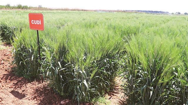 Yerli iki buğday ile rekolte yüzde 20 artacak