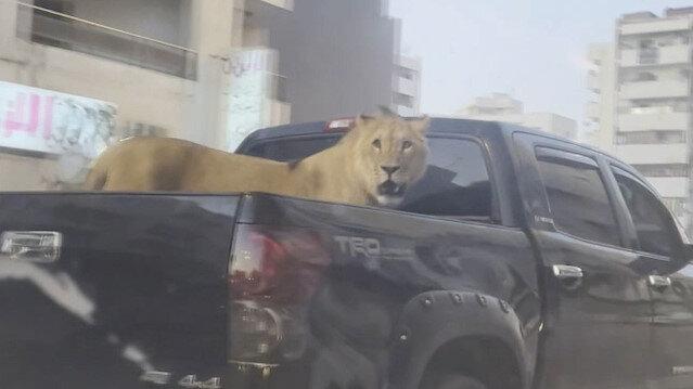 Libya'da araç kasasında bağsız gezdirilen aslan görenleri şaşırttı