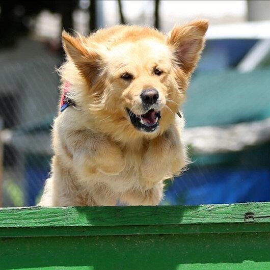 Özel eğitimli köpekler devrede: Bir saniyeden kısa sürede koronavirüsü tespit edebiliyor