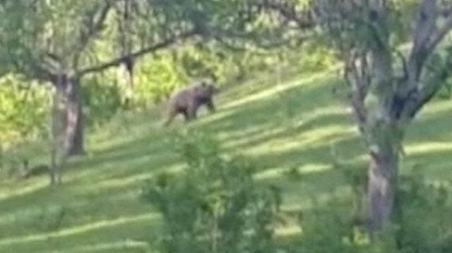 Artvin'de köylüler bahçede gördüğü ayıya seslendi: Gel tosunum