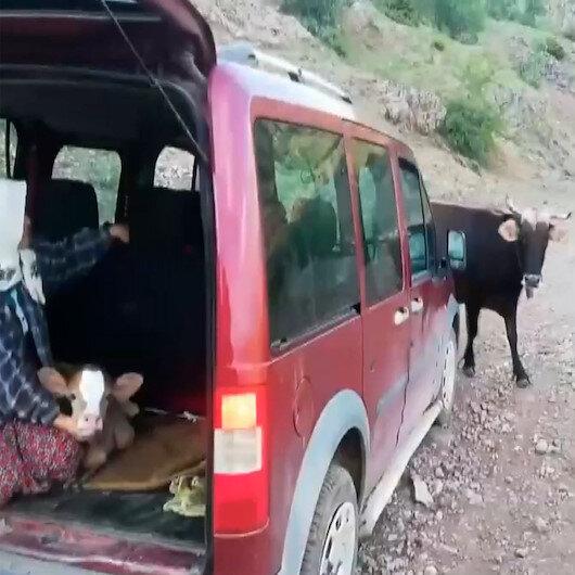 Köylüler yeni doğan buzağıyı götürünce inek sürüsü yolu kesti
