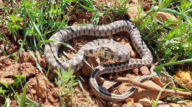 Tunceli'de 1,5 metre uzunluğunda yarı zehirli kocabaş yılanı görüntülendi