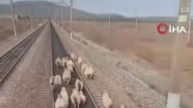 Rusya'da seyir halindeki yük treni koyun sürüsüne çarpmaktan son anda kurtuldu