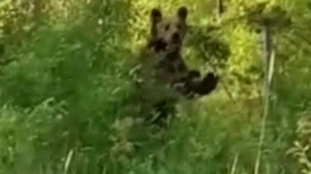 Artvin'de aç kalan ayı köye indi: Ayı geldi ayı