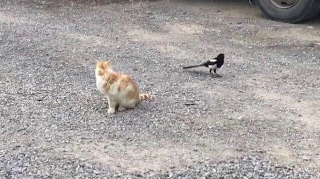 Sivas'ta karganın kediyle oyunu kamerada