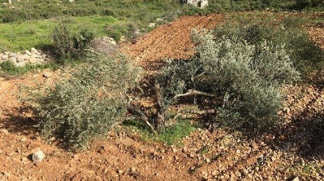 İsrail güçleri Filistinlilere ait 150 zeytin ağacını söktü