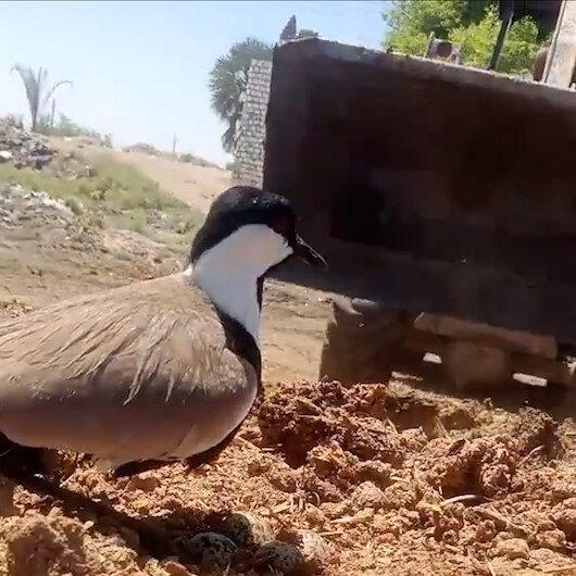 Eğlence için kuluçkadaki kumru kuşunun üstüne iş makinası sürdüler
