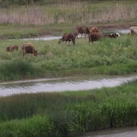 Suları çekilen Kızılırmak hayvanlara otlak oldu