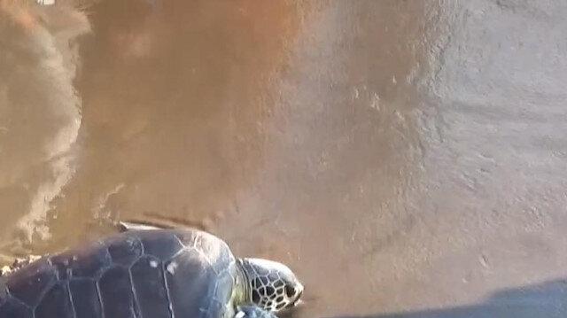 Muğla'da tedavi edilen caretta carettalar denize bırakıldı