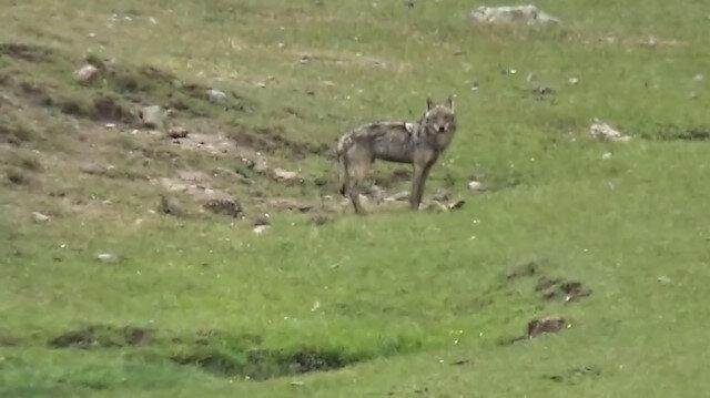 Sarıkamış'ta aç kalan kurt köye indi