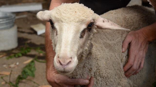 Ağrı'da yabani hayvanların saldırısına uğrayan 45 koyun telef oldu
