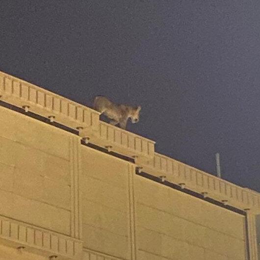 Suudi Arabistanda evin çatısında dolaşan aslan paniğe neden oldu