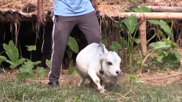 Bangladeş'te cüce inek Rani'ye büyük ilgi