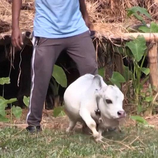 Bangladeşte cüce inek Raniye büyük ilgi