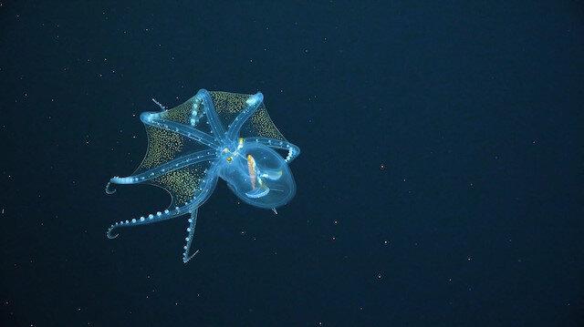 Okyanusta nadir rastlanan 'Cam Ahtapot'un muhteşem görüntüsü
