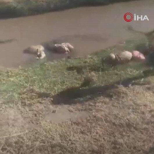 Kurbanlık hayvanların atıklarının akarsuya bırakılmasına vatandaş tepki gösterdi: Her sene aynı rezillik