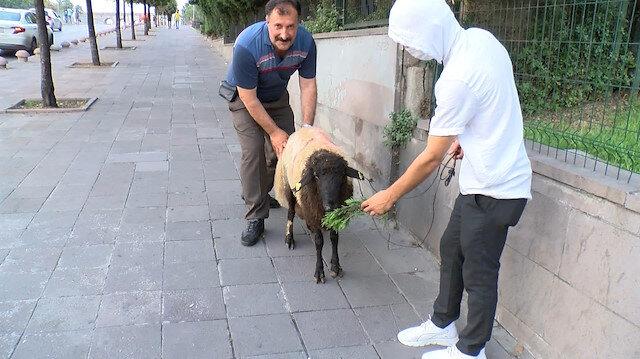 Kurbanlık koyuna 3 buçuk saat bir adım bile attıramadılar