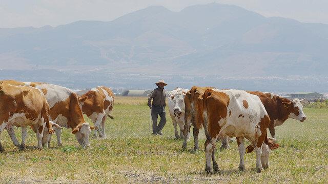 7 bin lira maaşla yerli çoban bulamıyorlar: Yılda 150 bin lirayla memleketine dönen var