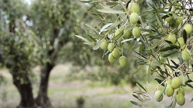 Orman yangınları sonrası ağaçlandırma seferberliği: Zeytin ağacı mı dikilmeli?