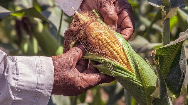 TMO fiyatları düşürmek için mısır satışına başlayacak