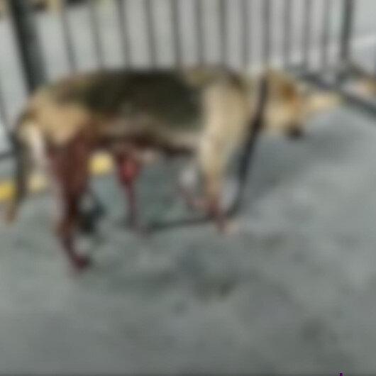 İBBnin kısırlaştırdığı köpeğin içler acısı hali: Bağırsakları dışarı çıktı