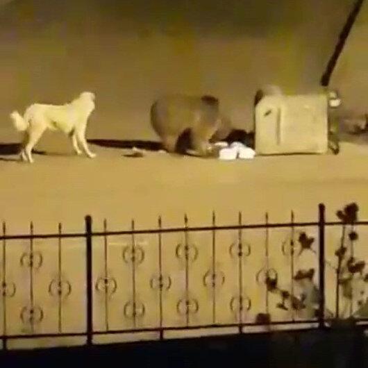 Aç kalan ayı çöp konteynerinde yiyecek aradı