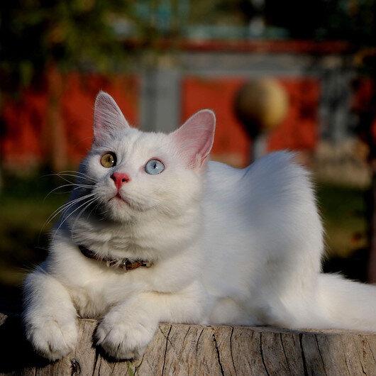 Helsinki Üniversitesi'nin 'Van kedisi' araştırmasına tepki: Bu unvanı asla kabul etmiyoruz