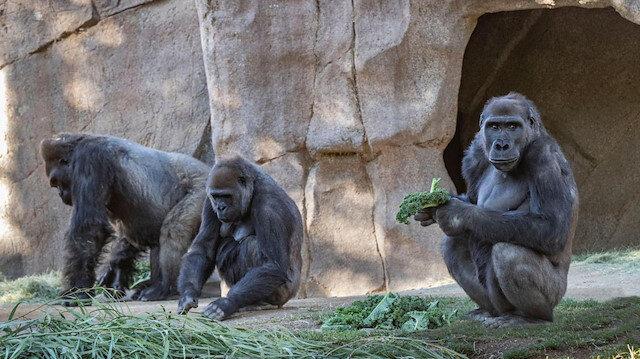 ABD'deki bir hayvanat bahçesindeki goriller koronaya yakalandı
