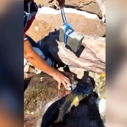 Parke taşı bağlanarak denize atılan Caretta Caretta uzun uğraşlar sonucu kurtarıldı