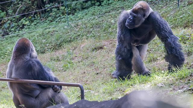 ABD'deki hayvanat bahçesinde Kovid-19'a yakalanan gorillerin sayısı 18'e yükseldi