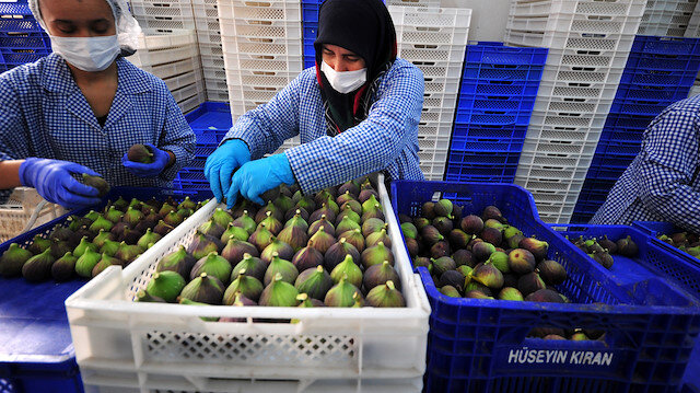 Bursa siyahı inciri dünya pazarına ihraç ediliyor