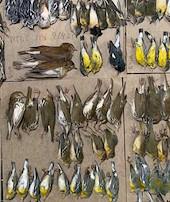 New Yorkta yüzlerce ölü kuş