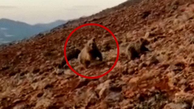 Koyunlara saldıran anne ayı ve yavrularını kangal köpekleri uzaklaştırdı