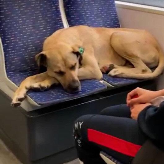 Yağmurdan kaçmak isteyen sevimli köpek tramvayla yolculuk yaptı