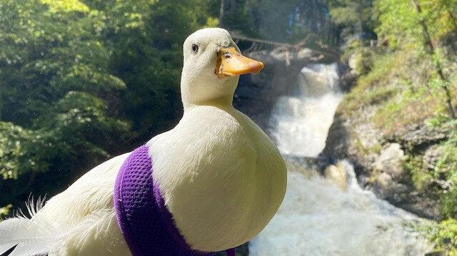 Fenomen ördeğin kazancı herkesi şaşırttı: Ayda 4 bin 500 dolar